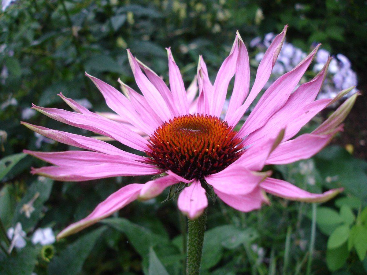 echinacea szemölcsök vélemények)