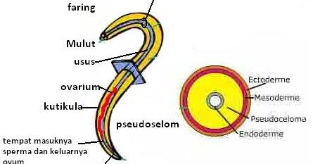 nemathelminthes contoh penyakit