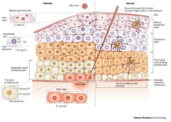 hpv vírus egy bór