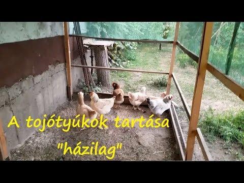 féreg tyúk ember otthon)
