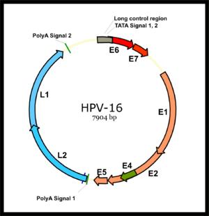 papillomavírus a méhen