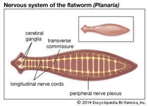 jelentése platyhelminthes phylum