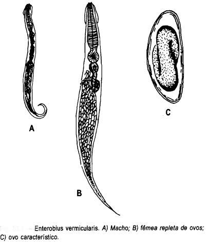 enterobius vermicularis verme)