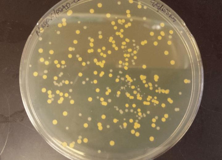 5. osztályú baktériumok
