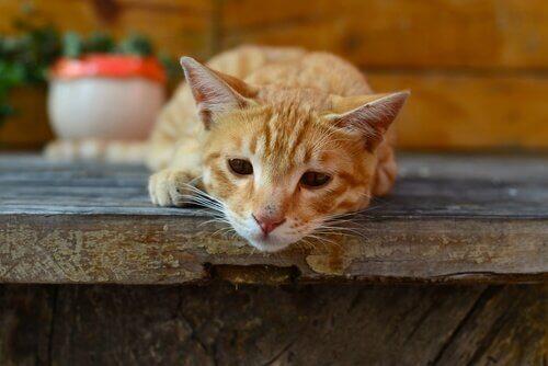 giardia paraziták kedi