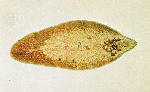 a fascioliasis morfológiája)