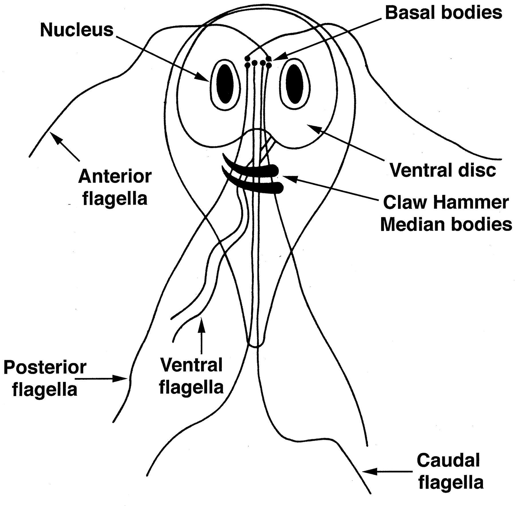 Képek a giardiasisról. Férgek kepek. Tesztet írnak elő a giardiasis kezelésére