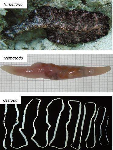 Gambar hewan nemathelminthes, PLATYHELMINTHES. Dugesia tigrina. A. Karakteristik