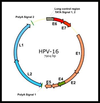 papilloma vírus ce e)