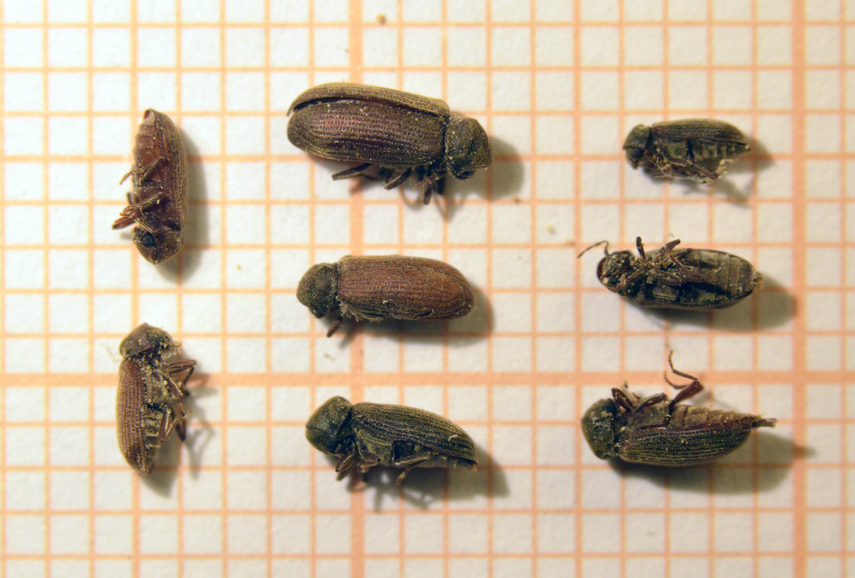 kókuszolaj pinworms kenőcs papillómák ellen intim helyeken
