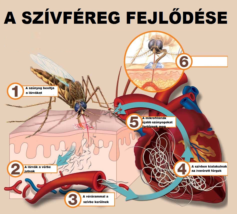 Az élősködő fonálféreg emberekben nem okoz szívférgességet!