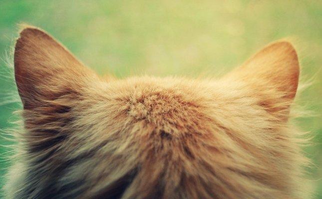 rüh kezelés macskáknál