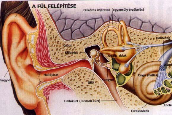 A fülben képződhet vírusos szemölcs?