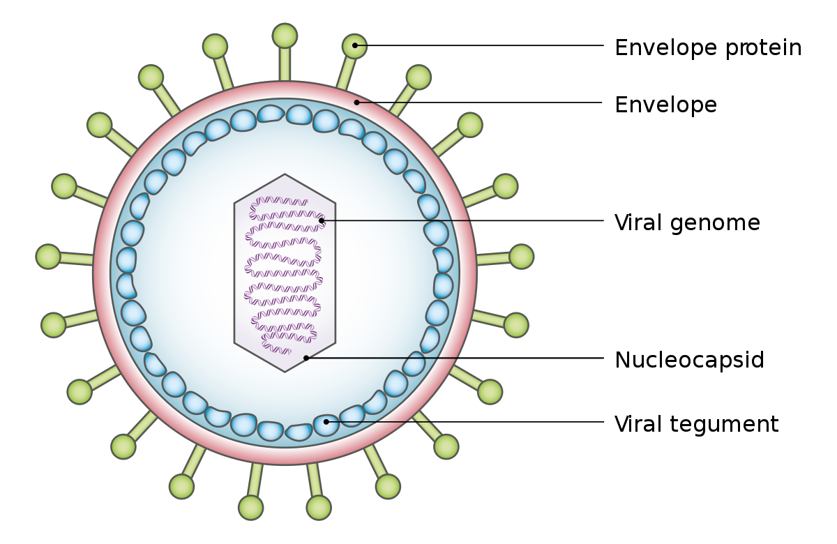 a helix enterobiosis összenyomódik