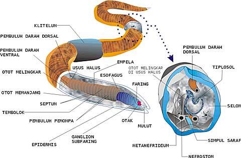 Contoh penyakit nemathelminthes. A paraziták tisztításának legjobb és legbiztonságosabb módja