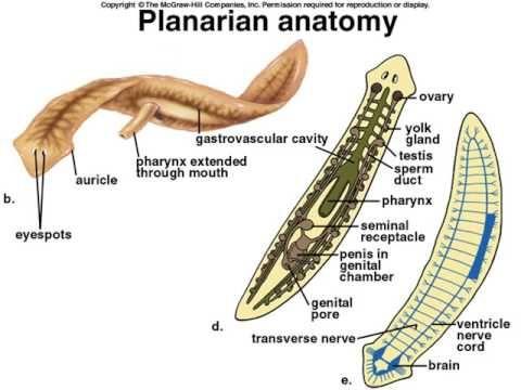 platyhelminth anatómia)