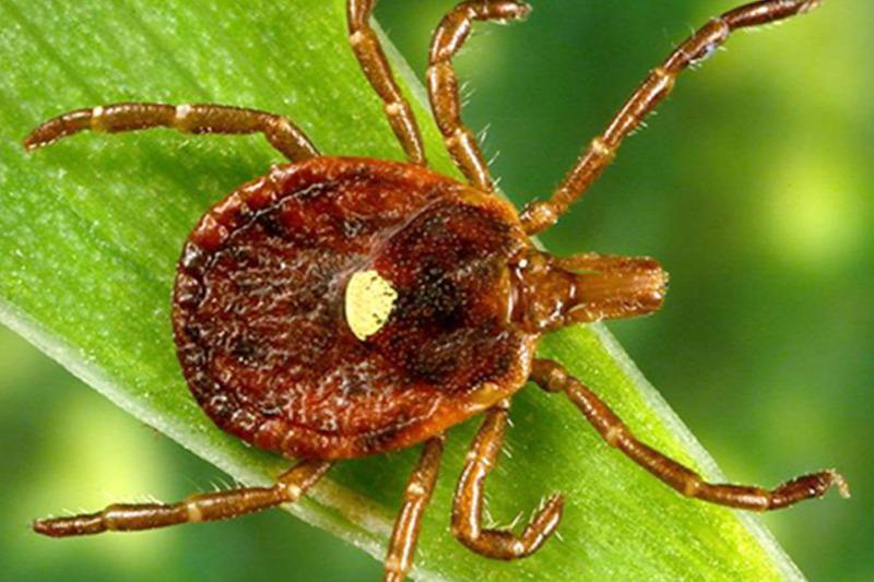 Búza parazita, Tifulás vetésrothadás (Typhula incarnata)