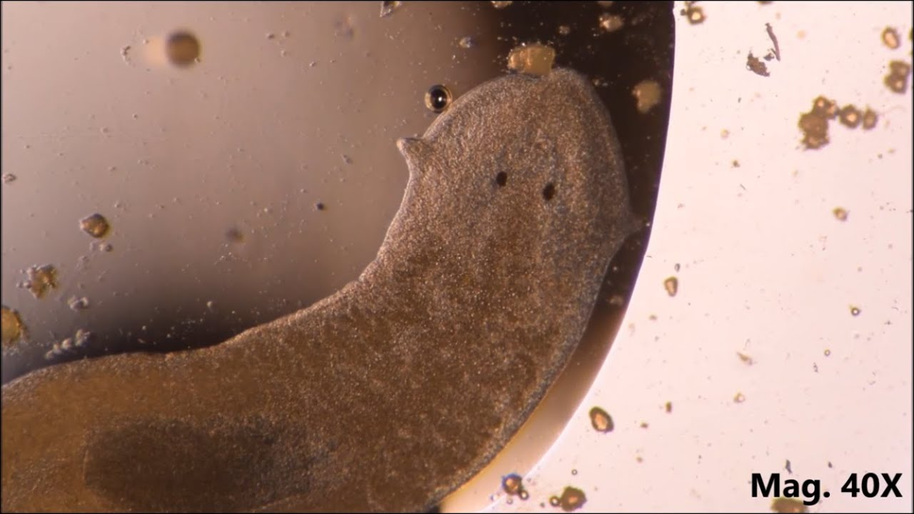 Platyhelminthes természetes élőhely,