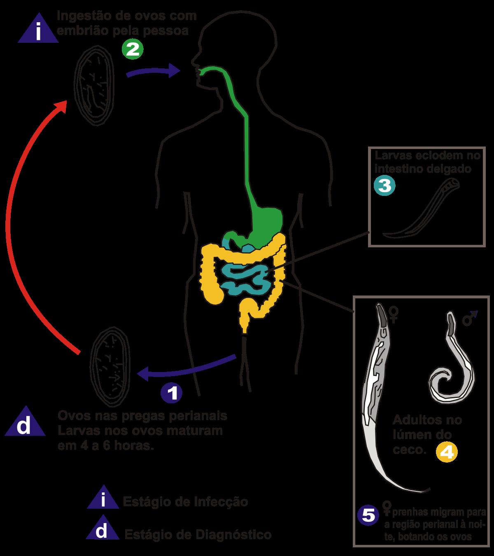 légzési papillomatosis cdc az emberben található paraziták típusai