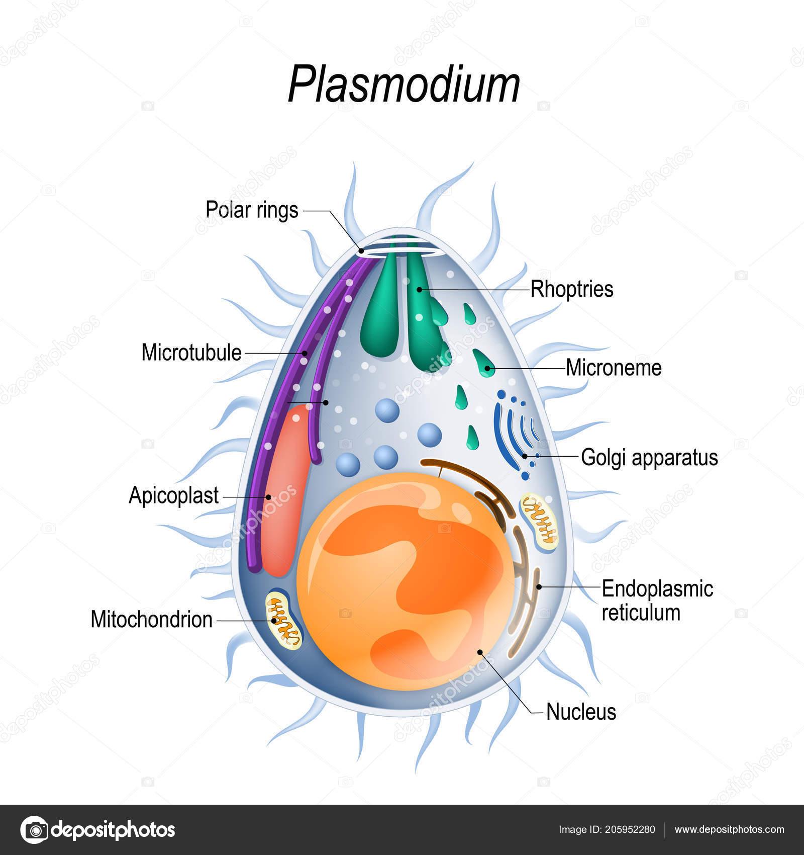Parazita fertozes kimutatasa, Féregpete és protozoon kimutatás mikroszkópos vizsgálattal