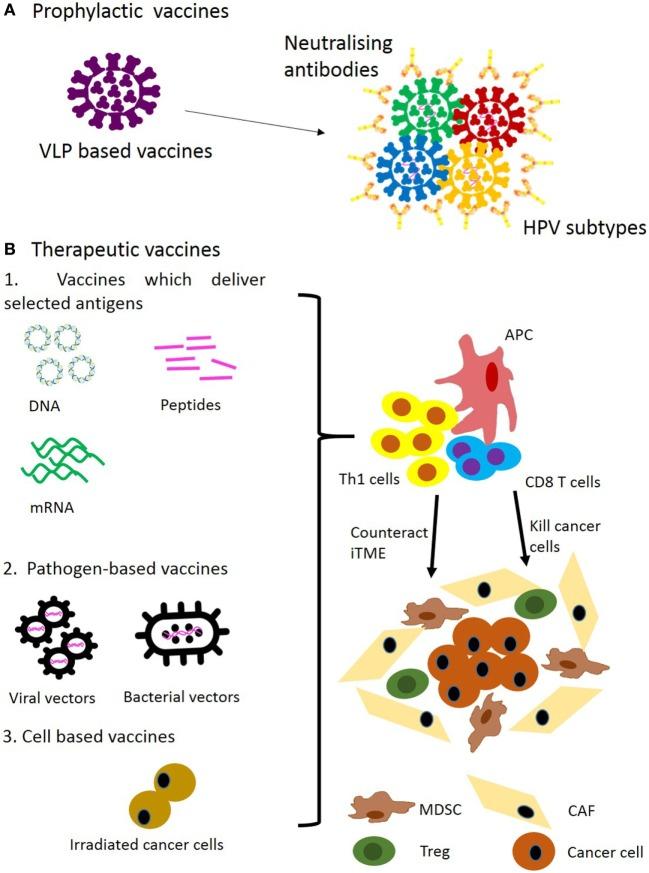 hpv vírus la b nh gi