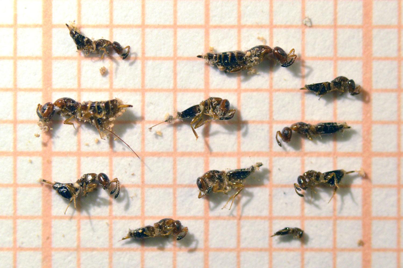Hogyan működik a féregtabletta az emberekben Férgek kivonat paraziták