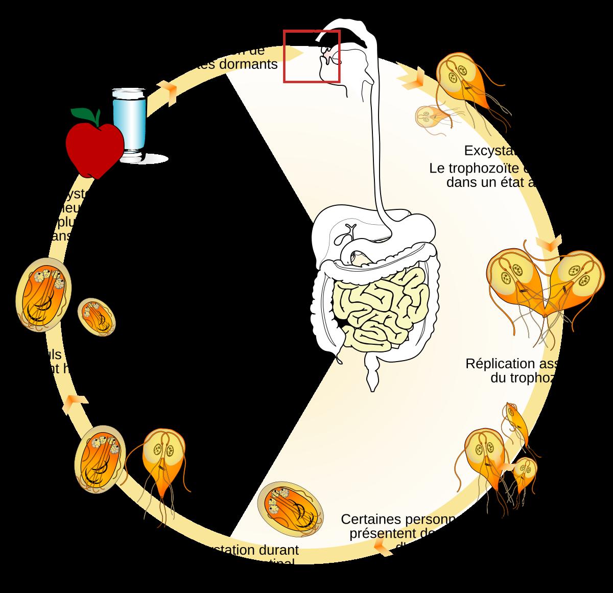 a giardia és a körömféreg gyógyszerei