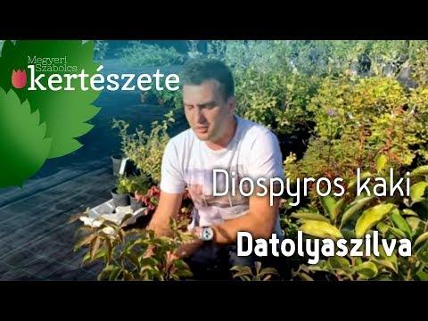 Datolyaszilva giardiasissal