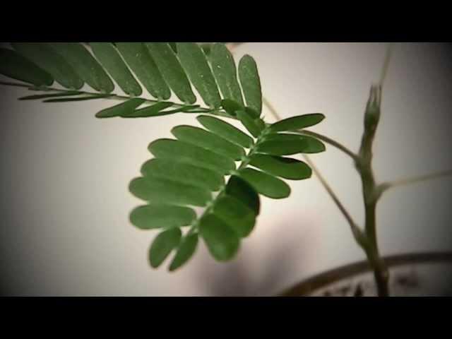 a mimosa pudica féreghajtó aktivitása vastagbélrák-leolvasó