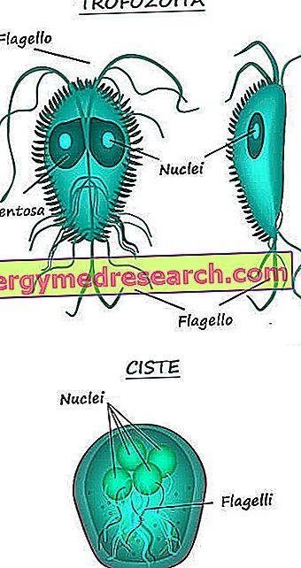 Giardia gyógyszer Kerepes-Vet Állatgyógyászati Központ. » Giardiozis
