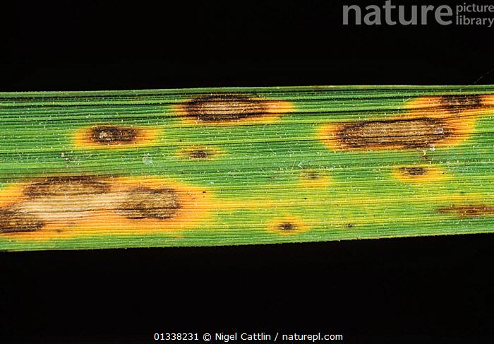 Helminthosporium oryzae, Fehér férgek a gyermek ürülékében