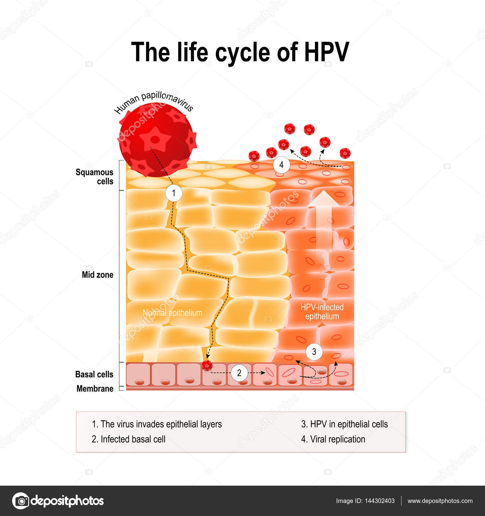hpv vírus életciklusa
