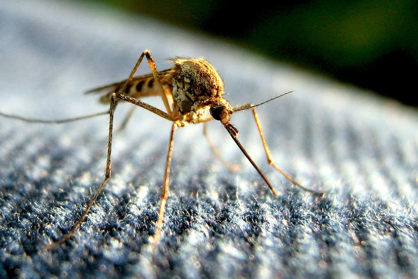 a szúnyogok mikrosporid parazitái)