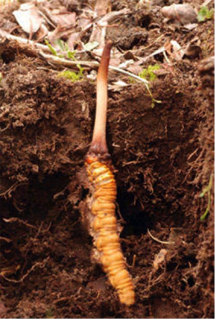A kínai hernyógomba (Cordyceps Sinensis)