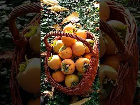 Datolyaszilva giardiasissal - vörösfenyő kéreg fogyókúra