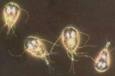 Giardia simptome adulti. Ako na parazity v tele