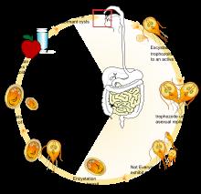 A giardiasis ornidazol kezelése Melyek a paraziták?