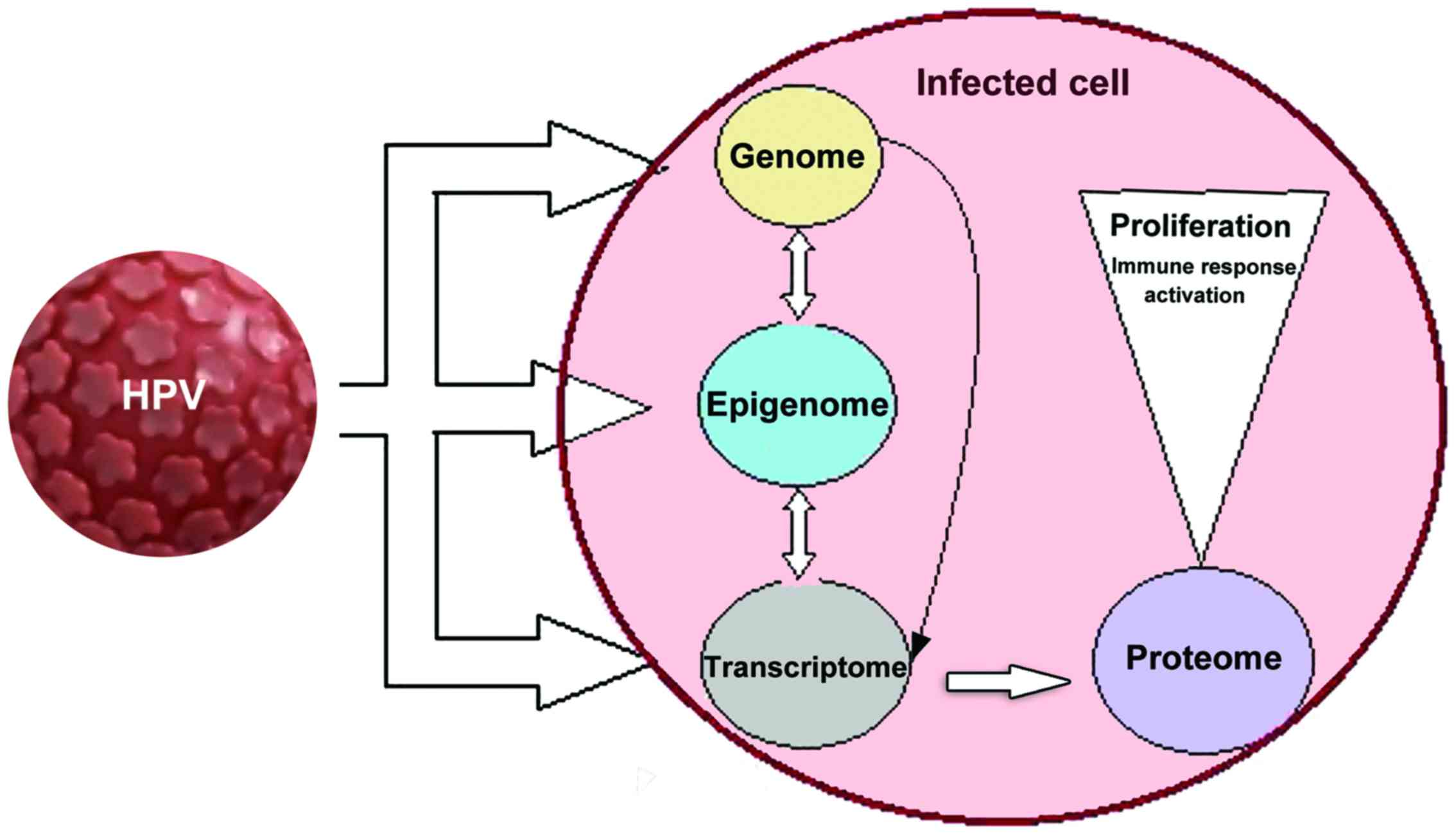 hpv humán papilloma vírus e6 e7 arnm