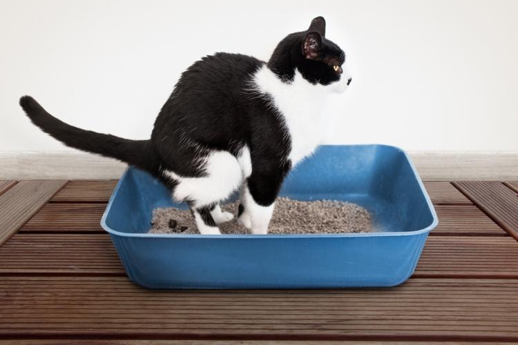 macska férgek rosszindulatú nyirokrák