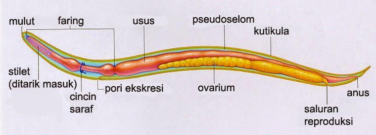 Increngatura nemathelminthes. Giardia gatti terapia. Gyogynoveny belfereg ellen