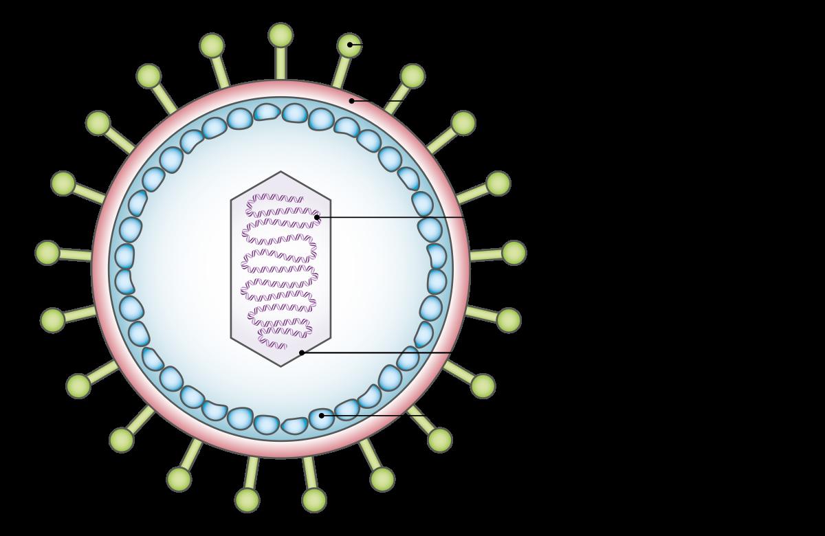 papillomavírus nyálmirigyek