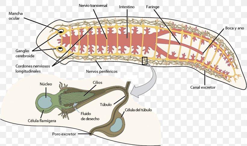 platyhelminth anatómia