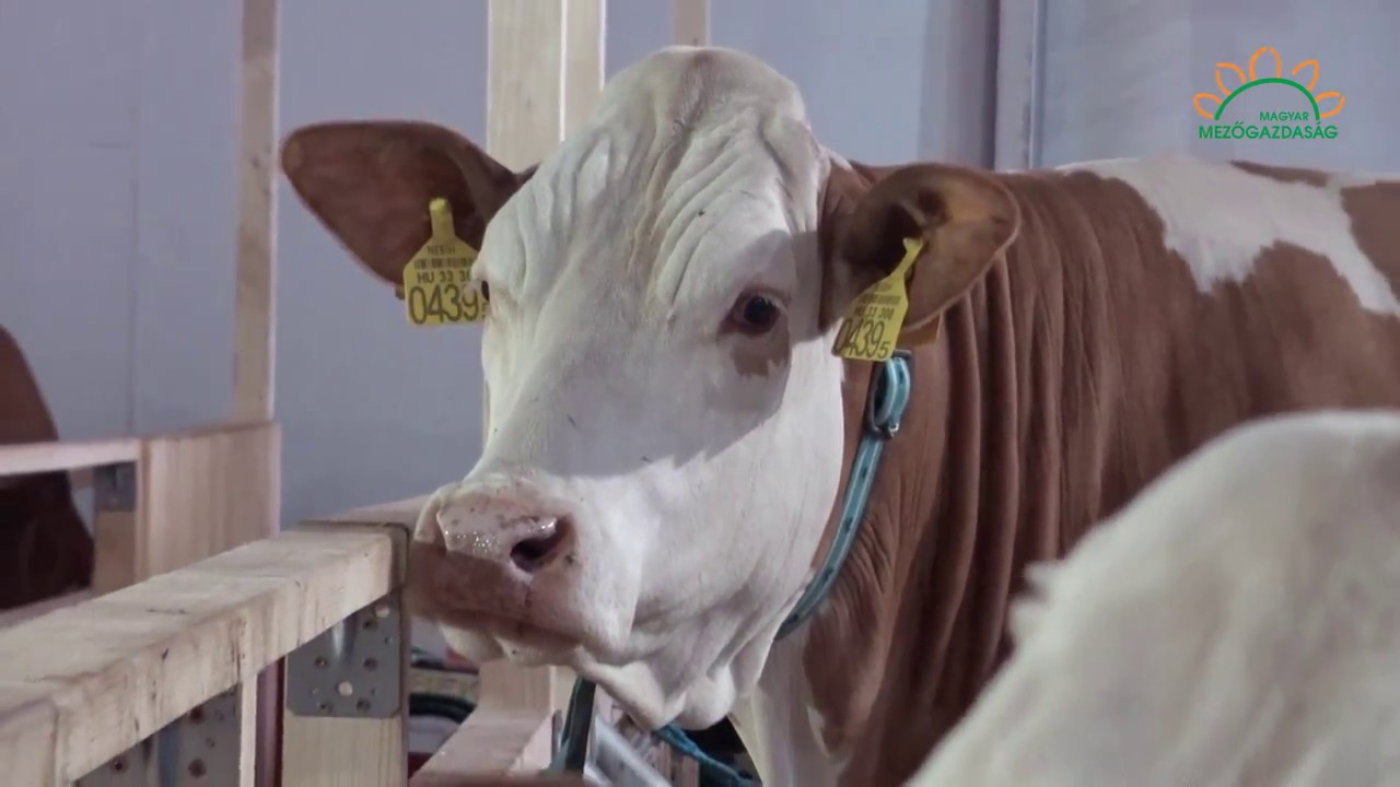 A szarvasmarhák papillomatózisa   Kárpátalja