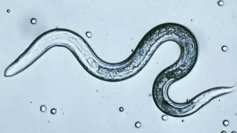 éves pinworms)