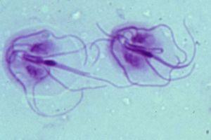 Hivatkozások Giardia kat besmettelijk