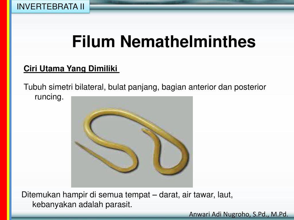 Nemathelminthes biologi x - Filum nemathelminthes adalah