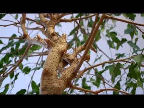 Ficus benjamin paraziták