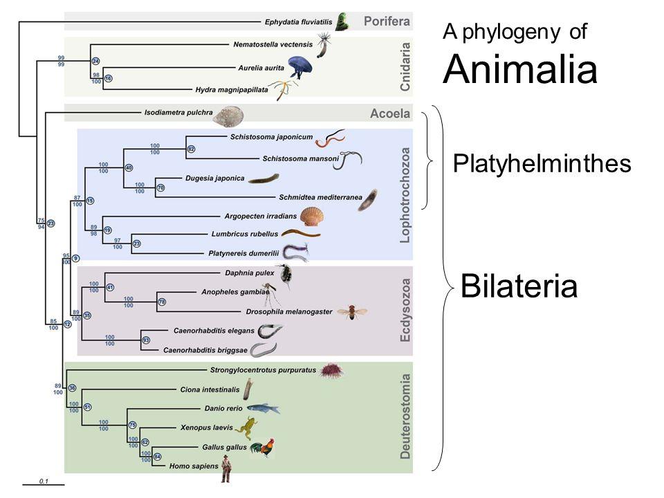 phylogeny platyhelminthes