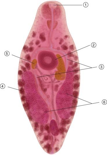 rickettsia helminthoeca