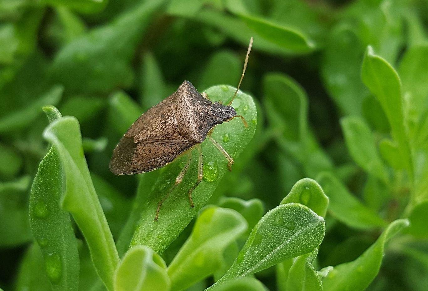 Veszélyes kártevők: Vetésfehérítő bogarak - Agrofórum Online